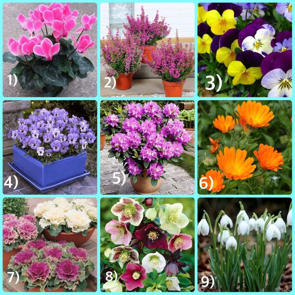 Giardino fiorito in inverno michele il giardiniere for Viola cornuta inverno